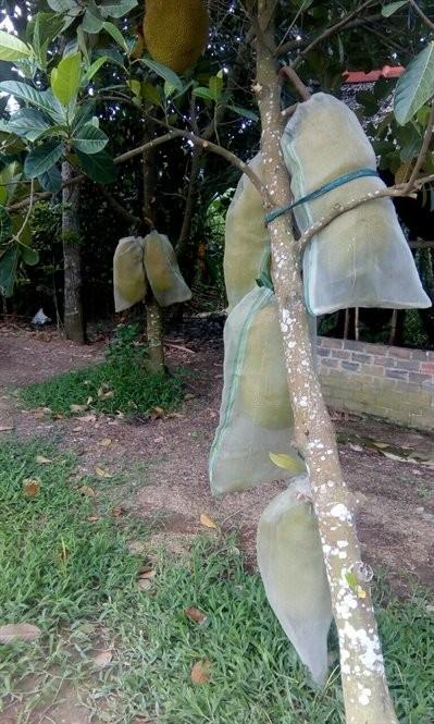 Loại quả 'cứu tinh' tương lai thế giới, thứ tầm thường lăn lóc ở Việt Nam