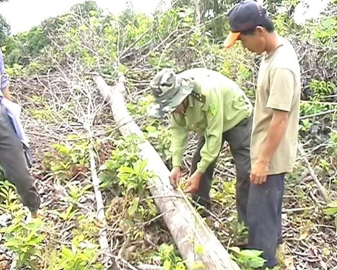 Lực lượng chức năng kiểm tra số cây gỗ bị chặt phá.