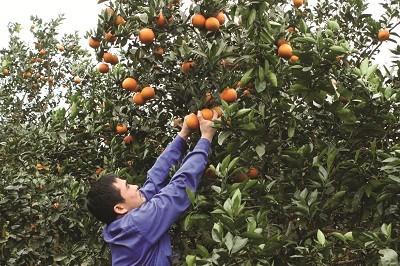 Giáp Tết, nhiều vườn cam vẫn còn trĩu quả chín.