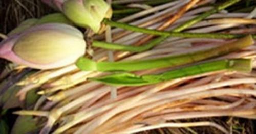 Ngó sen không chỉ là thực phẩm bổ dưỡng còn là vị thuốc trị sốt cao khát nước, các chứng chảy máu.