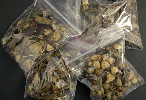 'Nấm ảo giác' chứa tiền chất ma túy xuất hiện tại Việt Nam