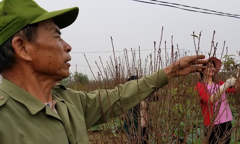 Người trồng đào Nhật Tân 'nín thở' chờ Tết