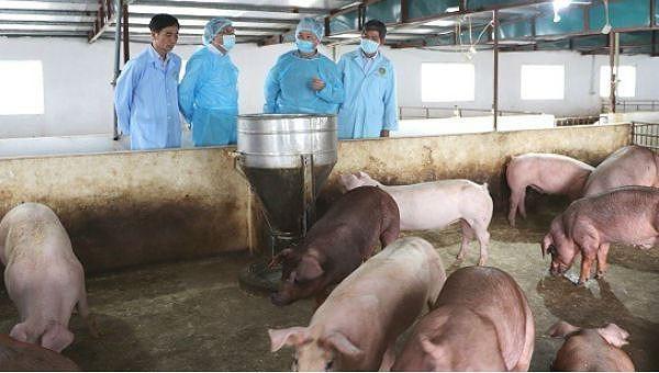 12 địa phương khống chế thành công dịch tả lợn châu Phi