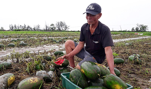 Sau mưa lũ, người dân xót lòng hái dưa hấu cho trâu bò ăn, thiệt hại hơn 600 tỷ đồng