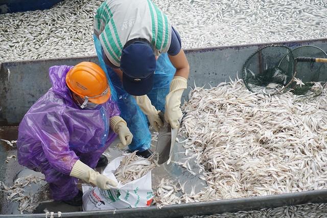 Công nhân vớt cá lên thuyền rồi đóng vào các bao tải.