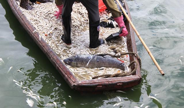 Cả những con cá trắm đen nặng 5-6kg cũng chết...