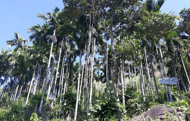 Nhiều vườn cau nằm trên tuyến đường từ trung tâm huyện Sơn Tây đi xã Sơn Liên được chủ vườn gắn biển cảnh báo có dao lam hoặc cắm chông để bảo vệ.
