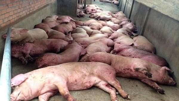 Hải Phòng phát hiện ổ lợn bị nhiễm dịch tả lợn châu Phi ở Thủy Nguyên