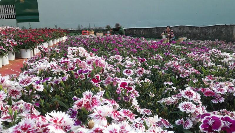 """Làng hoa nơi phố núi: Thấp thỏm """"canh"""" thời tiết đợi xuân về"""