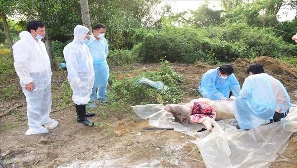 Phát hiện thêm ổ dịch tả lợn châu Phi tại Thừa Thiên Huế