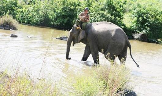 Chuyện về con voi nhà duy nhất ở Gia Lai