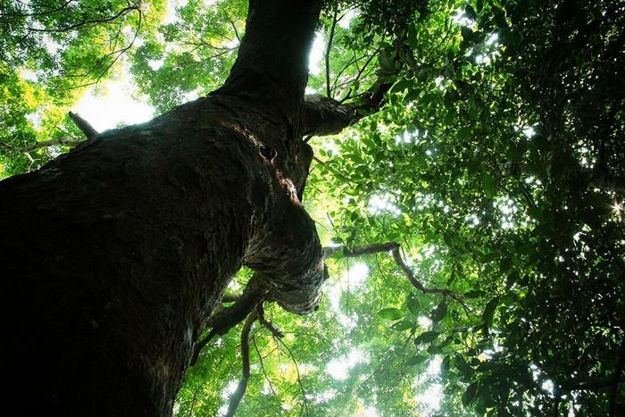 Báu vật của làng: Rừng lim nguyên sinh tồn tại giữa đồng bằng hàng trăm năm