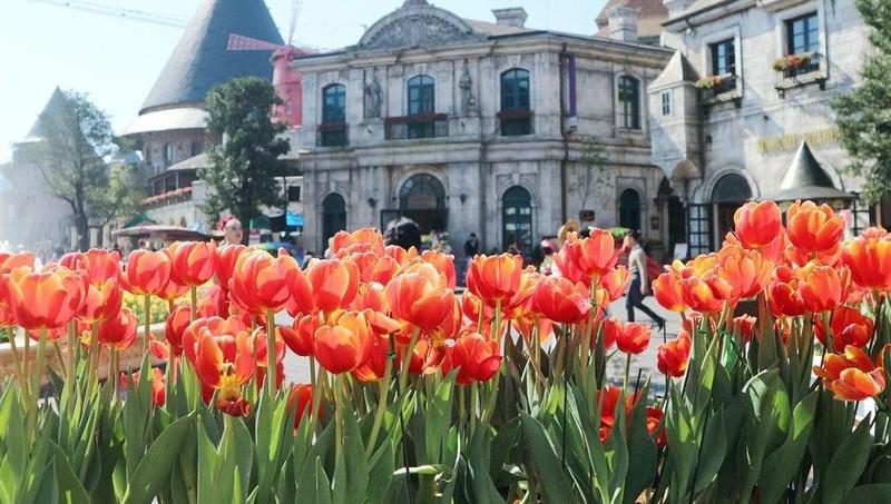 """Hơn triệu bông tulip biến Bà Nà thành """"xứ sở Hà Lan"""""""