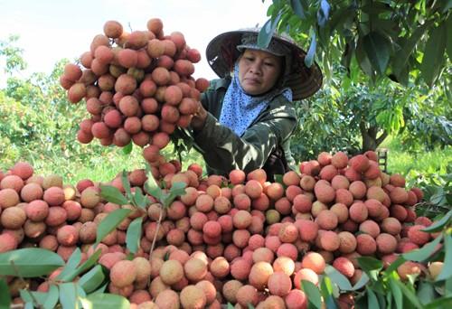 Người dân Hà Nội được thưởng thức vải thiều Thanh Hà chính hiệu
